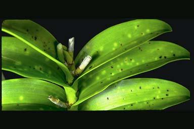 Phyllosticta Capitalensis
