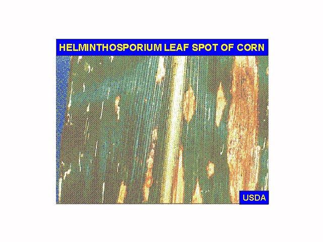 helminthosporium sacchari)